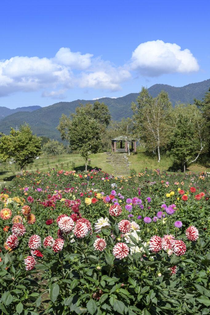 木島平村のやまびこの丘公園のダリア園